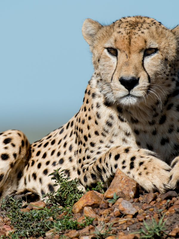 Cheetah Exposure tours Safari tours