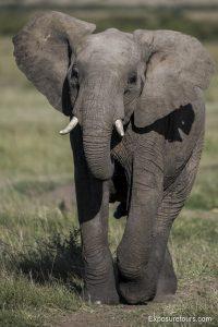 elephant front running
