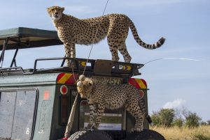 Leopards on Vehicle - Exposure Tours