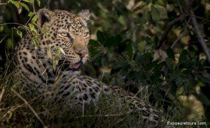 leopard safari-2