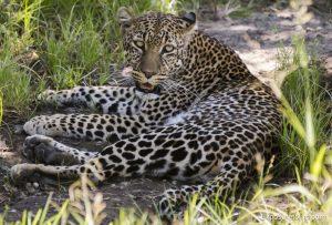 leopard safari-3