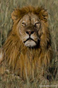 lions safari-1