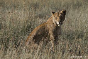lions safari-2