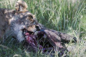 lions safari-4