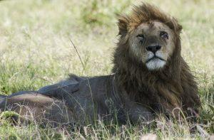 lions safari-5