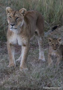 lions safari-7