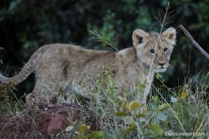 lions safari-8
