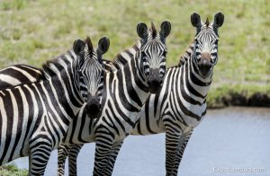 3 zebra in a row