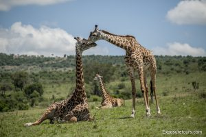 photo-safari-giraffe
