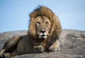 photo-safari-lion