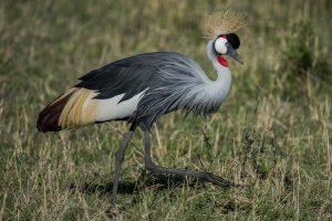 Crested Crane Bird