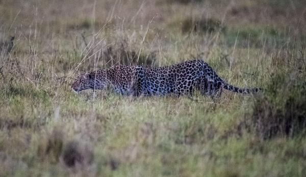 Mara Kenya Leopard 2