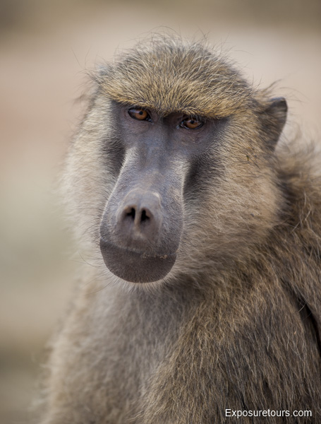 Olive Baboon - Exposure Tours - Safari Tours - Toronto  (4)
