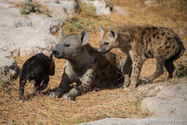 Spotted Hyena Encounter - Safari Tours Toronto (1)