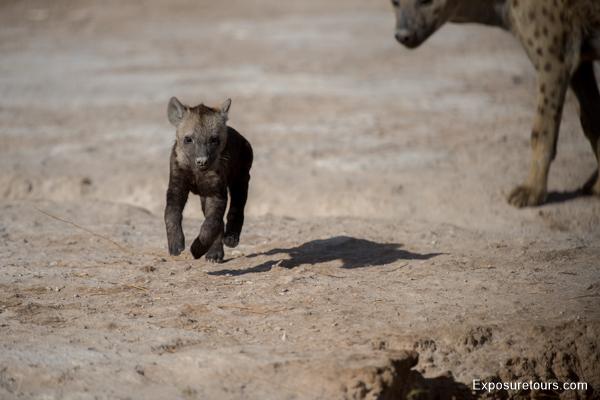 Spotted Hyena Encounter - Safari Tours Toronto (2)