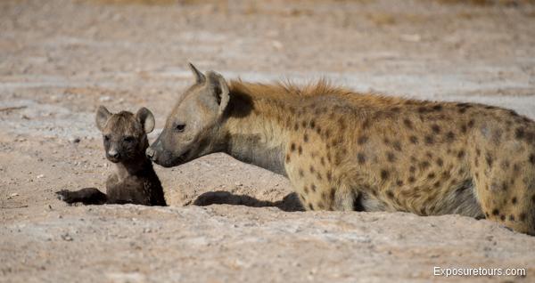 Spotted Hyena Encounter - Safari Tours Toronto (3)