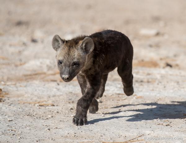 Spotted Hyena Encounter - Safari Tours Toronto (4)