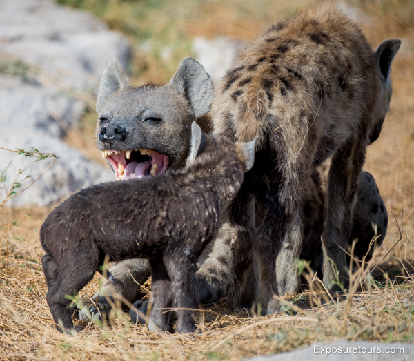 Spotted Hyena Encounter - Safari Tours Toronto (5)
