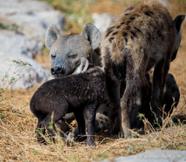 Spotted Hyena Encounter - Safari Tours Toronto (6)