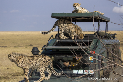 cheetah on van