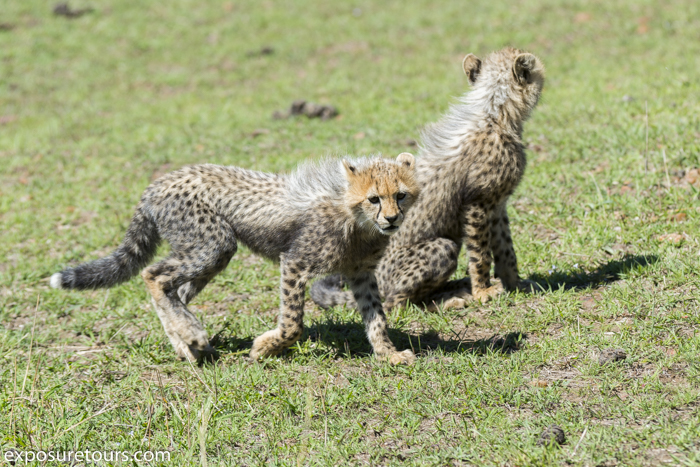 cheetah portrait  family exposure tours-1