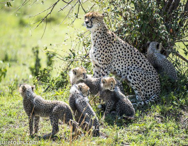 cheetah portrait  family exposure tours-2