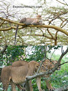 two lions one leopard - safari tours toronto (2)
