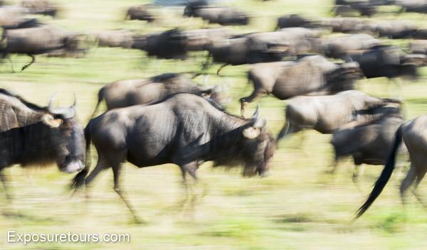 wildebeest - exposure tours - safari tours toronto (2)