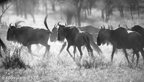 wildebeest - exposure tours - safari tours toronto (4)
