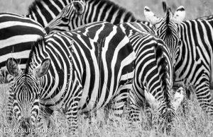 Magazine zebra monodchrome