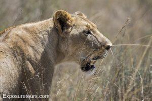 Full frame lioness