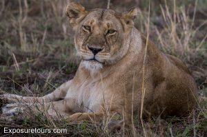 lioness 200-500mm
