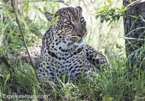 Leopard looking up
