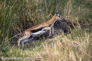 gazelle jumping