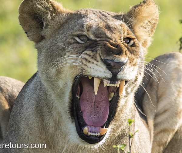 Lioness Growling lens review