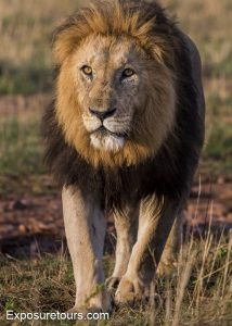 male-lion-walking-front