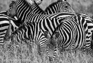 zebra monochrome