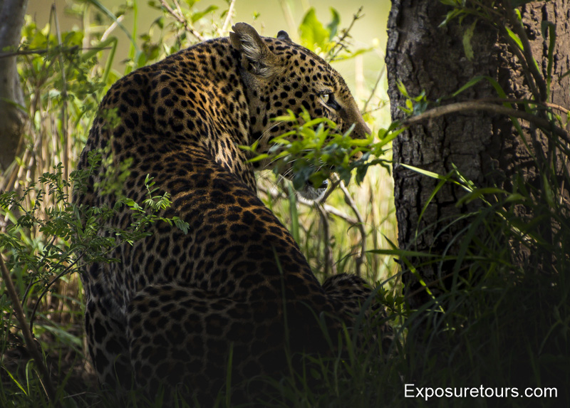 leopard in bush