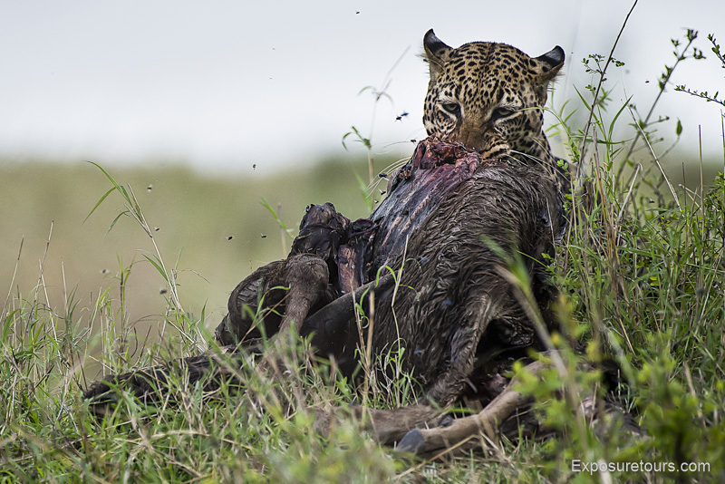 leopard-kill-2