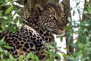 leopard wildlife photo safari header
