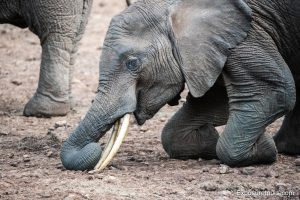 elephant kneeling