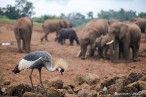 crested crane and elephant