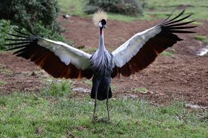 crested crane ar