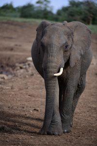elephant ar2