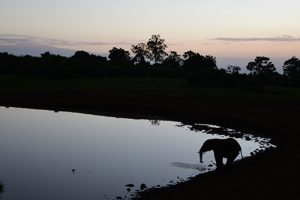 elephant at water hole