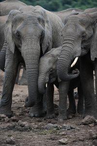 elephant yng ar