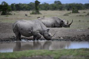 rhino ol1