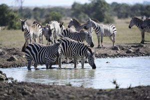 zebra ol