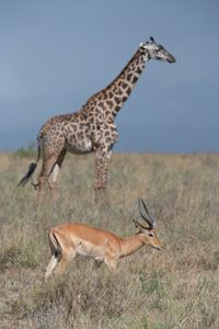 Giraffe and Gazelle