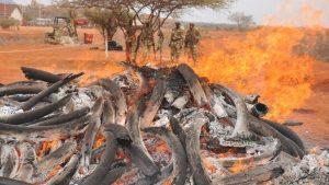 tusk burning KWS/akrono
